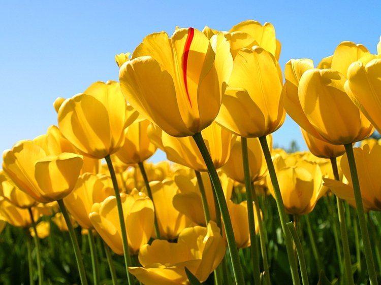 Newsitems-1-attachment1_Tulips.jpg